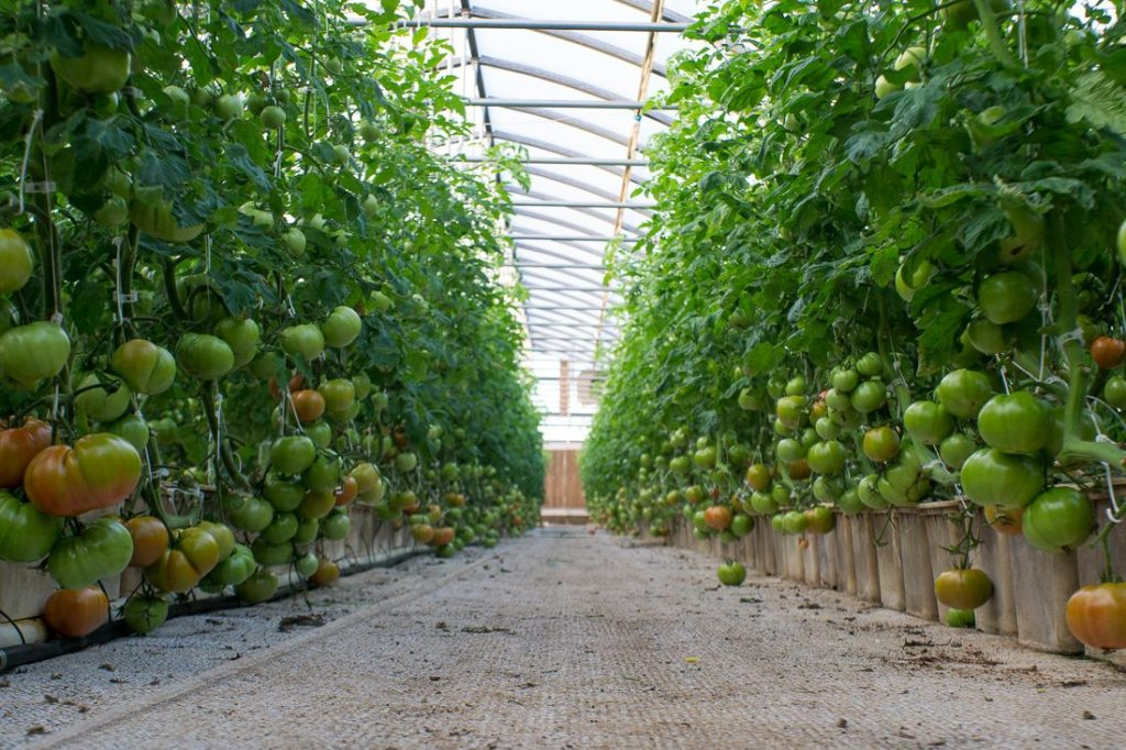"""Vine Ripened """"beef steak"""" tomatoes are starting to ripen..."""