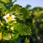 PYO Strawberries Are Almost Here