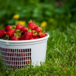 yoders_farm_strawberries