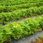 Pick Your Own Strawberries - Lynchburg VA - Yoders' Farm