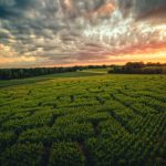 Across the Corn Maze to the sunset...
