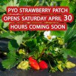 pyo-strawberries-saturday