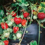 Late Season Strawberries